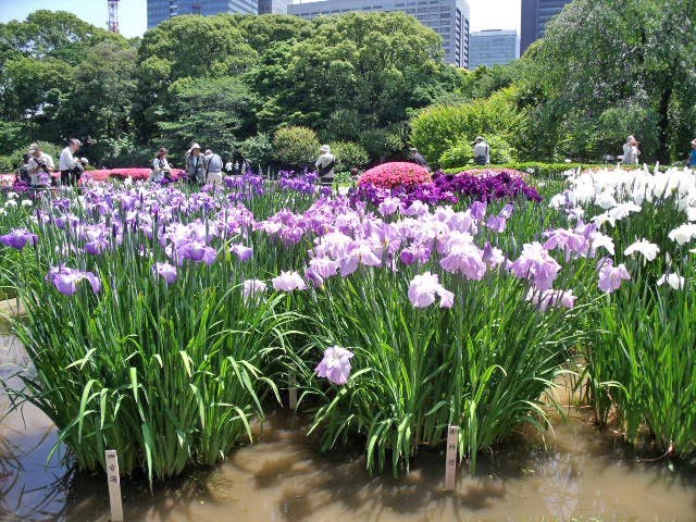 Tokyo Snap Photo Hanashobu Japanese Iris In Higashi Gyoen