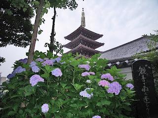 hydrangea in senso-ji temple