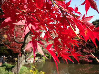Japanese maple in the Koishikawa Korakuen