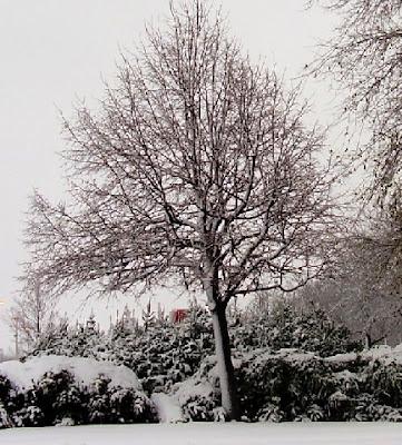 Algodar invierno en canada for Arboles de hoja perenne sin fruto