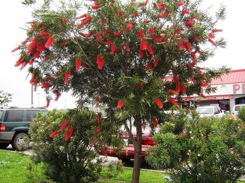 Plantas de mi jardin callistemon for Arbol rojo jardin