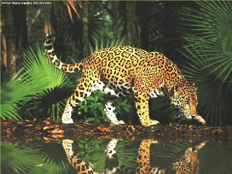 Download beautiful jaguar pictures hight quality