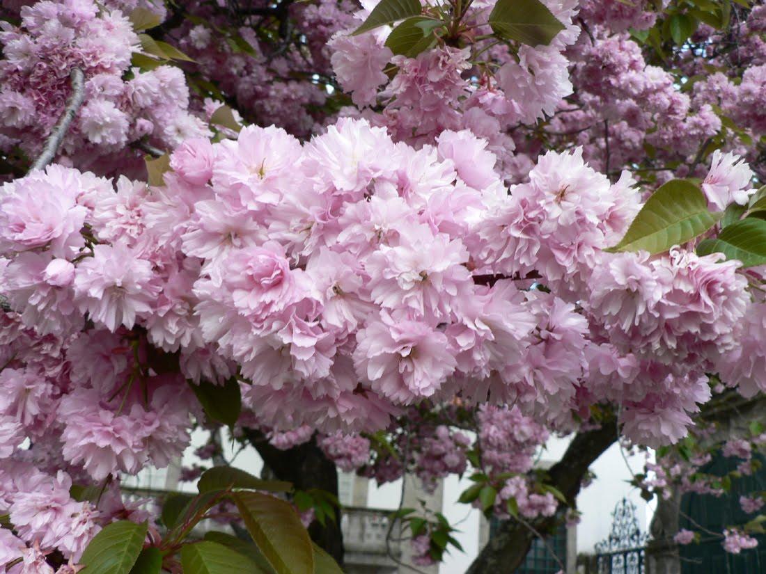 Prunus serrulata Lindl (CEREZO