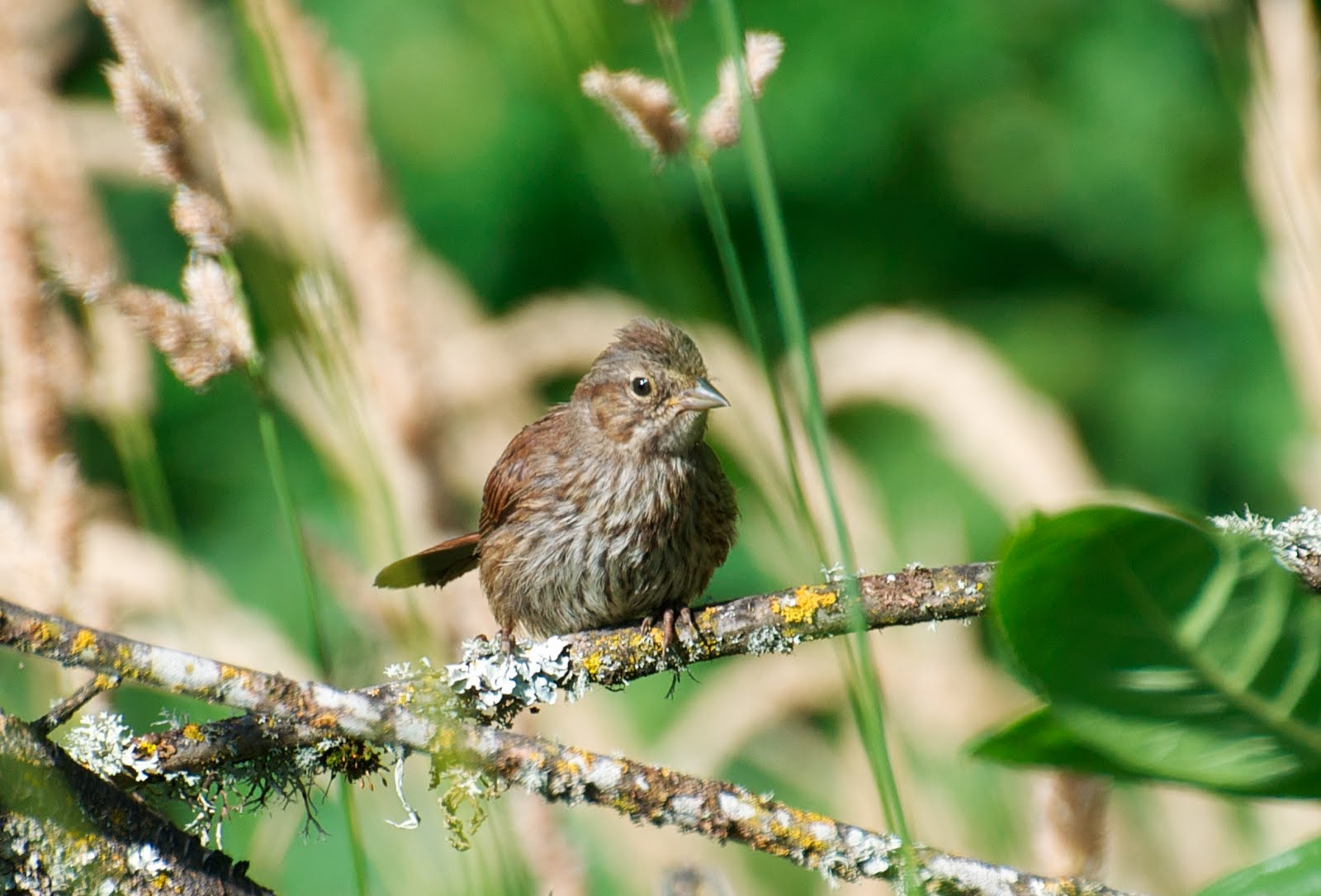NW Bird Blog: Song Sparrow - Juvenile