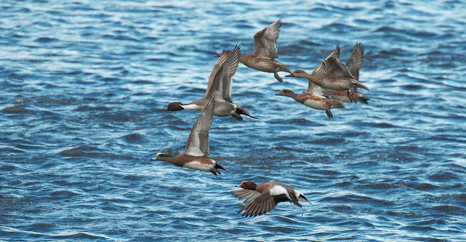 NW Bird Blog: Ducks in Flight - Northern Pintail, American ...