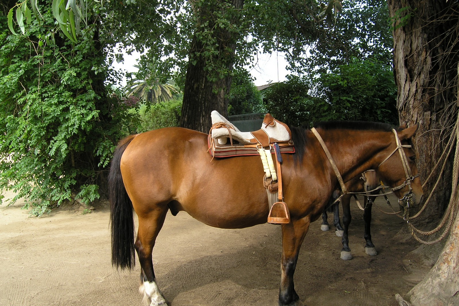 The beautiful horse breed Criollo