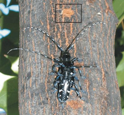 Asian Longhorn Beetle ALB - Northeastern Area State