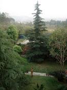 Frontyard Deodar Trees