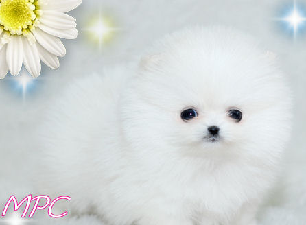 mini pomeranian puppies for free. teacup pomeranian puppies for