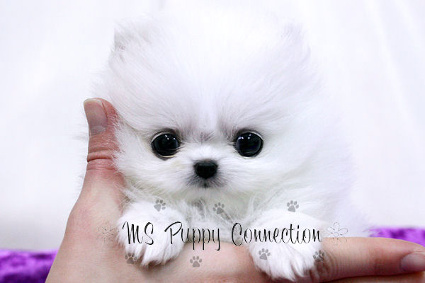 White Pomeranian Puppy Pictures. Pomeranian Puppy Uglies