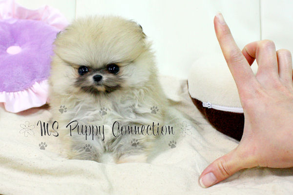 New York Teacup Puppies For Sale: Pomeranian Puppies New York