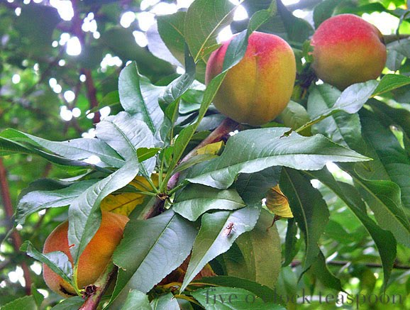 how to grow an apricot tree from a stone