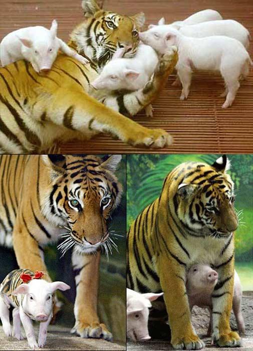 [tigre-porcelets.jpg]