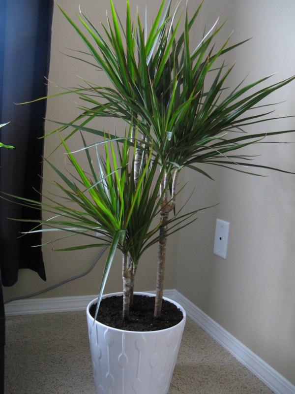 dracaena marginata home garden pinterest. Black Bedroom Furniture Sets. Home Design Ideas