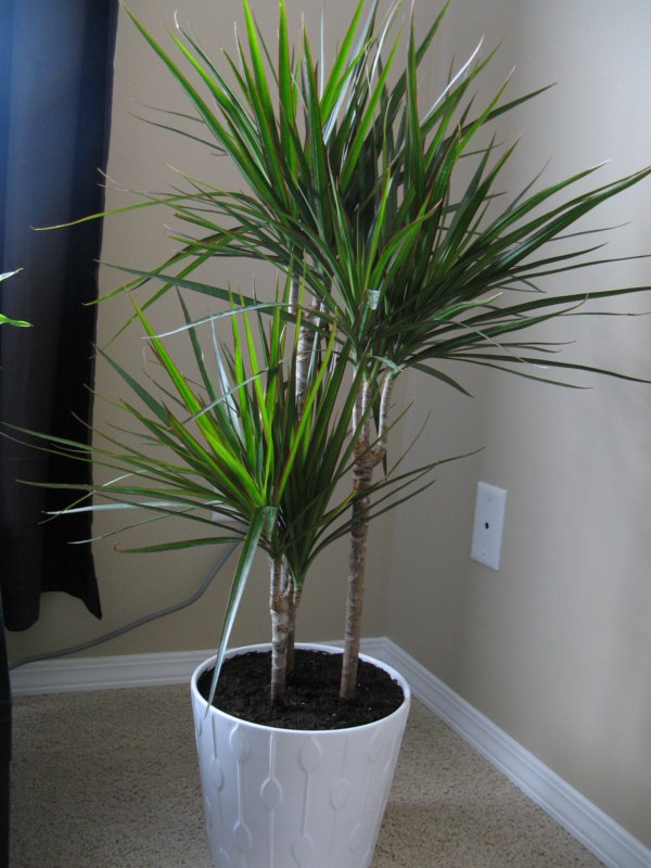 Dracaena marginata home garden pinterest for Dracaena marginata