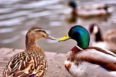 Blades Of Grass Boy And Girl Mallard Ducks