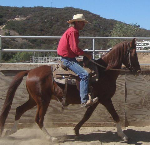 Fire the Peruvian Paso Gelding