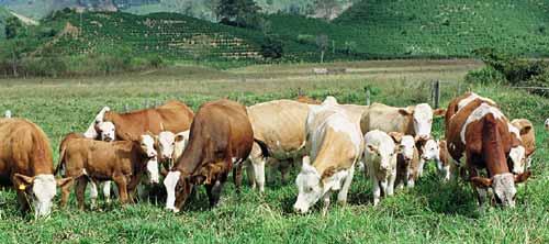 gado mestico