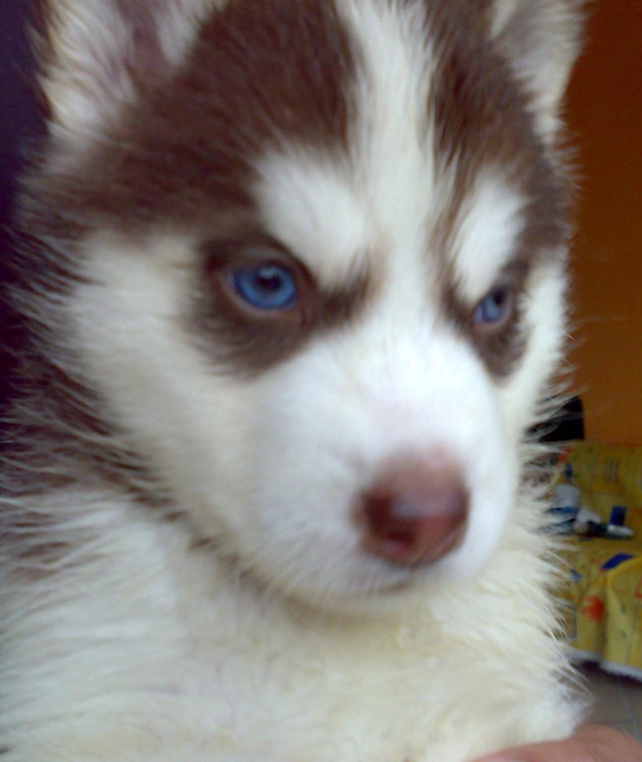 Fotos de perros husky siberiano - perros.about.com