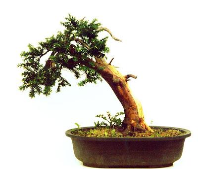 reiners bonsai blog die gestaltung einer japanischen eibe teil 2. Black Bedroom Furniture Sets. Home Design Ideas