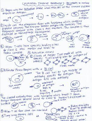 Marys Biology Page Diagram Of Humoral Immune Response