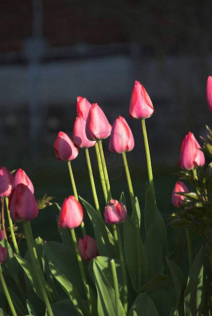 bright pink tulips in the garden at the front of the O'brien Street Medical center, Orillia