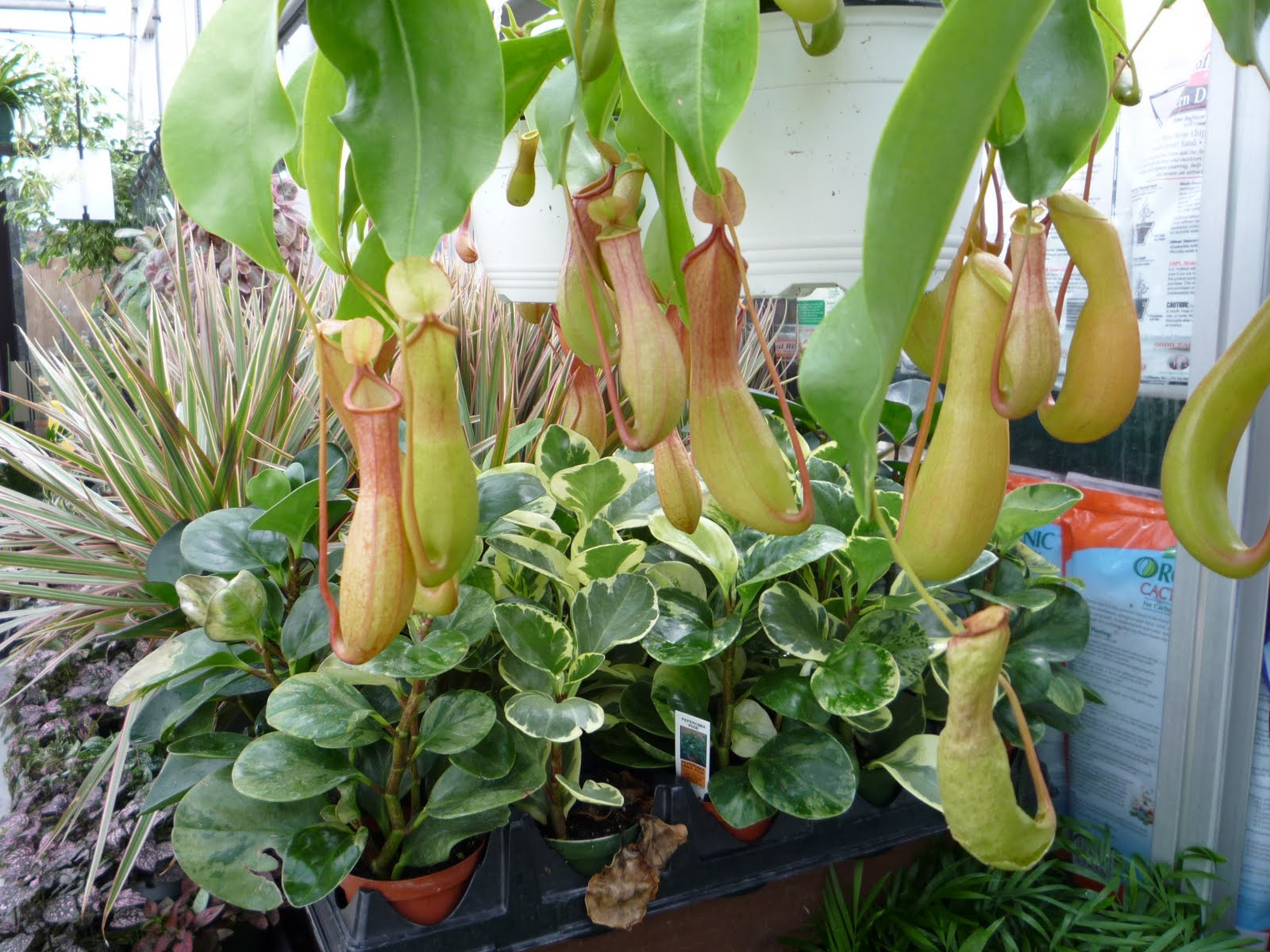 Hanging Pitcher Plant Care Hanging Pitcher Plant Care