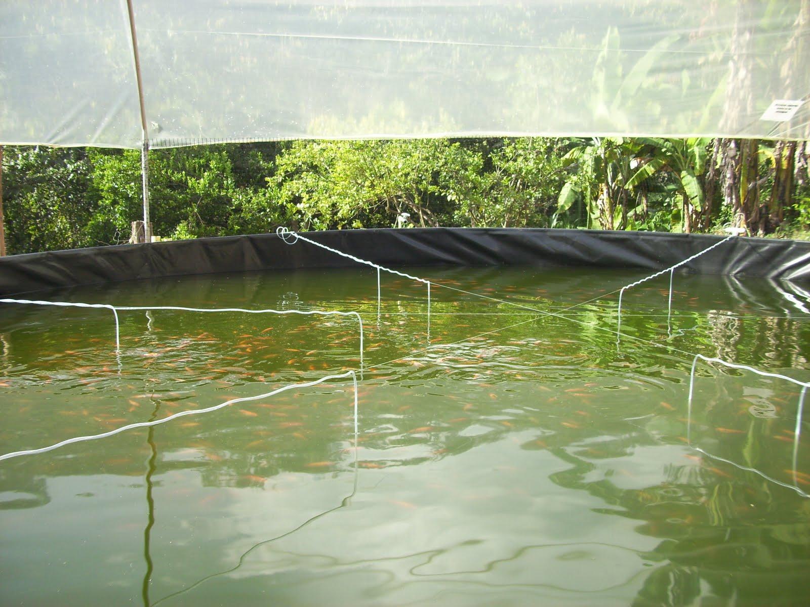 Proyectos innovadores producci n tecnificada de mojarra for Tanques para peces geomembrana