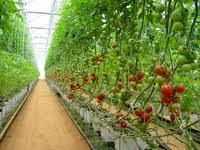 Producción de Tomates para negocio.