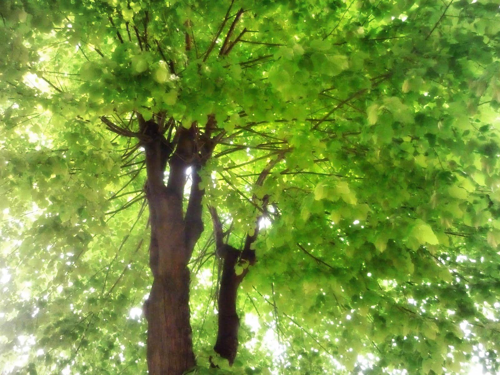 The cicianebbia 39 s l 39 albero di casa for Tiglio albero