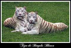 Tigre de Bengala  via de extincion