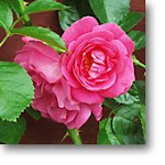 Love roses.../men rosor i ett sprucket krus...