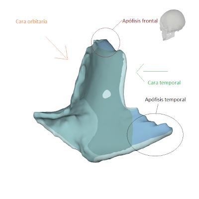 Cigomático - Osteología