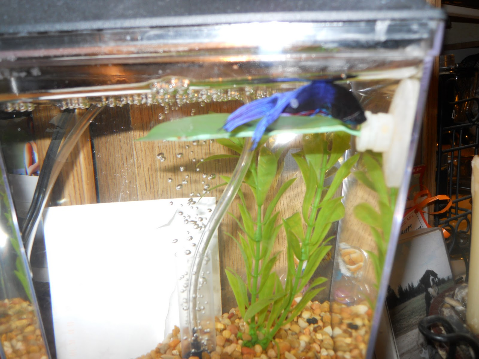 four season day betta discoveries