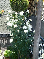 Les comparto las rosas de mi suegra