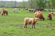 Cows with Bangs