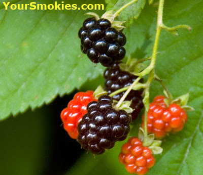 Blackberries and blueberries in the Great Smoky Mountains national park