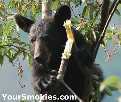 Reports of another Aggressive Bear Shot in the Great Smoky Mountains National Park.