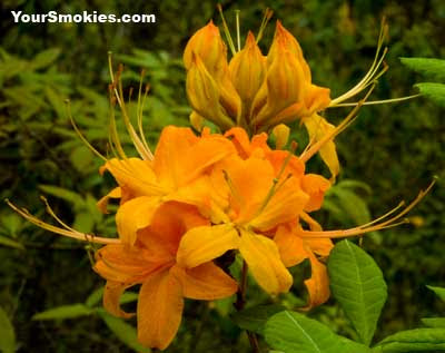one the first flaming azaleas blooming in the park
