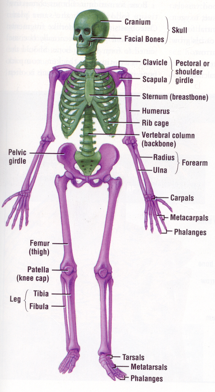Skeletal System Label Quiz For Kids
