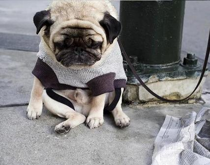 you can't get up can you little pugels?awww your sooo chubby little cutie pie!