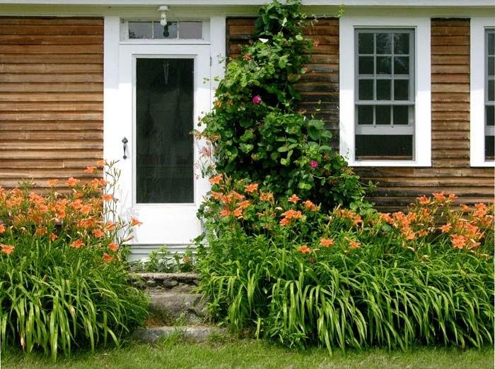 Landscaping With Honeysuckle : Studio and garden daylilies honeysuckle