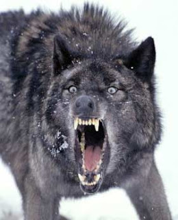 Texas Cryptid Hunter Wolf Attacks On Humans On The Increase