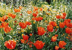 Springtime tulips at Monet's garden at Giverny, France