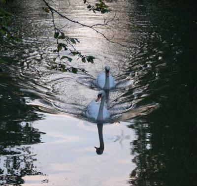 Swans on the Leam, Leamington Spa, Warwickshire, UK