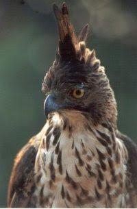 Burung Elang Jawa ( Spizaetus bartelsi ) adalah salah s