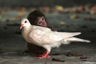 Monkey loves dove