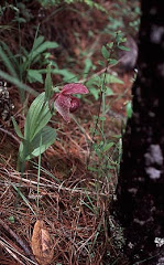 Cypripedium tibeticum King