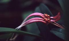 Bulbophyllum biflorum Teijsm. & Binn.