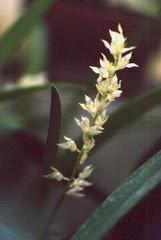 Bulbophyllum gibbosum (Bl.) Lindl.